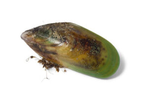 Grünlippmuschel-synofit