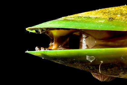 Fette-gruenlippmuschel
